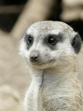Meerkat Mammal Africa Animal by Wonderful Dream