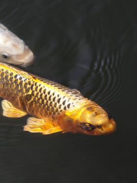 Orange Koi Fish Style by Wonderful Dream