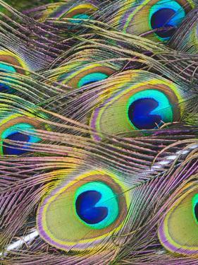 Peacock Bird Pattern Feather by Wonderful Dream