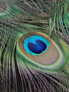 Peacock Peafowl Bird Feather by Wonderful Dream