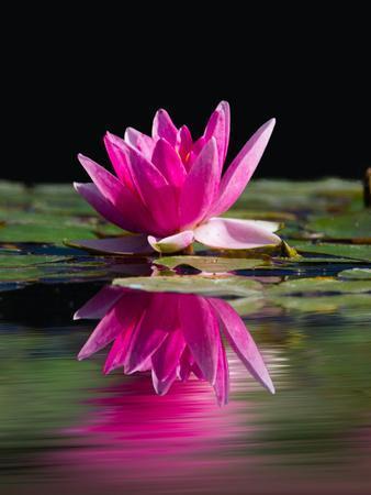 Pink Asia Lotus Flower 2