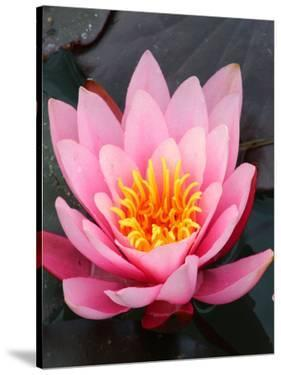 Pink Asia Lotus Flower by Wonderful Dream