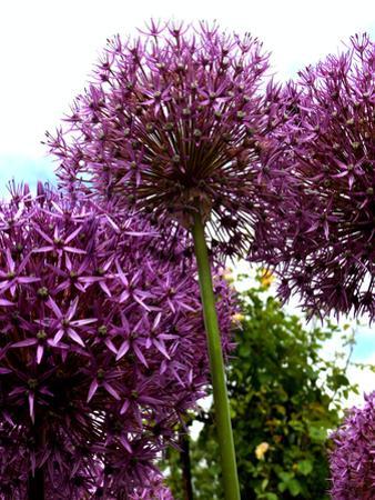 Purple Allium Flower 2 by Wonderful Dream