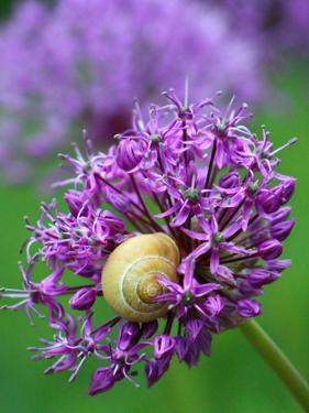 Purple Allium Flower by Wonderful Dream