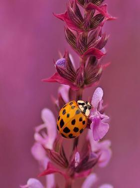 Purple Flower With Ladybug by Wonderful Dream