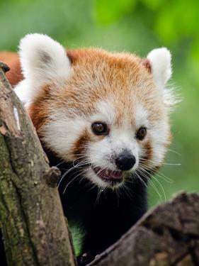 Red Panda Bear Animal by Wonderful Dream