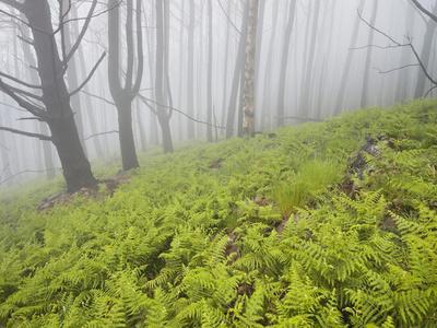 https://imgc.allpostersimages.com/img/posters/wood-fern-succession-burnt-trunks-fog-polso-madeira-portugal_u-L-Q11YQ430.jpg?p=0