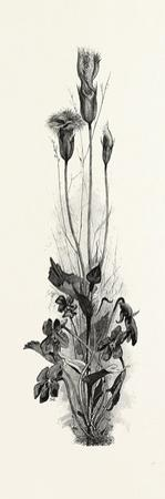 Wood Violets, and Fringed Gentian, Canada, Nineteenth Century