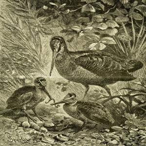 Woodcock Austria 1891
