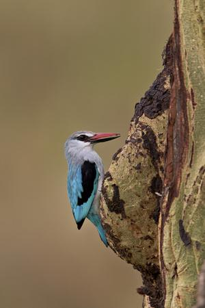 https://imgc.allpostersimages.com/img/posters/woodland-kingfisher-halcyon-senegalensis-serengeti-national-park-tanzania-east-africa-africa_u-L-PWFG570.jpg?p=0