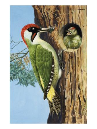 https://imgc.allpostersimages.com/img/posters/woodpecker_u-L-PCIWOB0.jpg?artPerspective=n