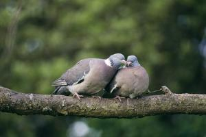 Woodpigeons X Two, on Branch