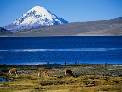 Vicuna along Shoreline of Lago Chungara with Volcano Sajama in Background, Lauca Nat. Park, Chile