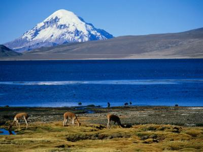 Vicuna along Shoreline of Lago Chungara with Volcano Sajama in Background, Lauca Nat. Park, Chile