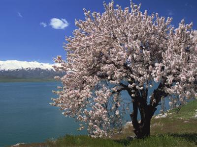 Tree in Blossom, Akdamar Island, Lake Van, Anatolia, Turkey Minor, Eurasia