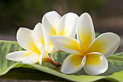 Frangipani Tropical Flowers, Plumeria Flowers Fresh by worawut2524