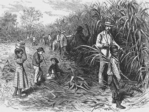 Workers Cutting Sugar Cane