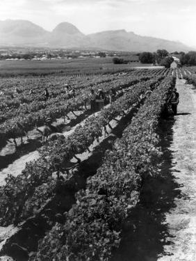 Workers Picking Grapes in Vineyard, Paarl, South Africa, June 1955