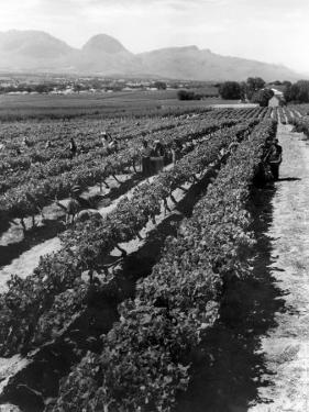 Workers Picking Grapes in Vineyard, Paarl, South Africa, June 1955