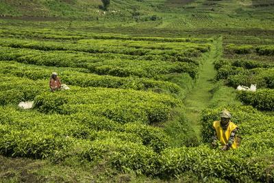 https://imgc.allpostersimages.com/img/posters/workers-picking-tea-on-a-tea-plantation-in-the-virunga-mountains-rwanda-africa_u-L-PQ8QTZ0.jpg?artPerspective=n