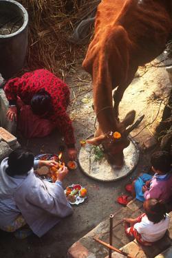 Worship of the Cow, Tihar Festival, Katmandu, Nepal