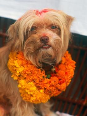 Worship of the Dog, Tihar Festival, Katmandu, Nepal