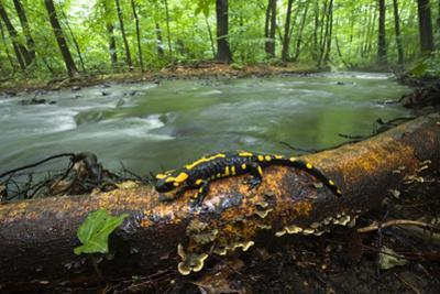 European Salamander (Salamandra Salamandra) on Tree Trunk Beside River, Male Morske Oko, Slovakia