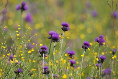 Flowering Meadow with Thistles (Cirsium Rivulare) and Buttercups (Ranunculus) Poloniny Np, Slovakia by Wothe