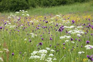 Flowering Meadow with Thistles (Cirsium Rivulare) Poloniny Np, Western Carpathians, Slovakia by Wothe