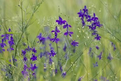Forking Larkspur (Delphinium Consolida - Consolida Regalis) in Flower, East Slovakia, Europe by Wothe