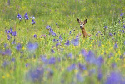 Male Roe Deer (Capreolus Capreolus) in Flower Meadow with Siberian Irises (Iris Sibirica) Slovakia by Wothe
