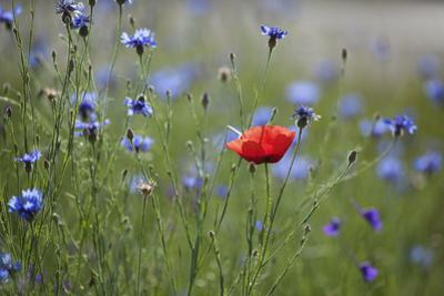 Red Poppy (Papaver Rhoeas) Brown Knapweed (Centaurea Jacea) and Forking Larkspur, Slovakia by Wothe