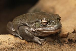 Colorado River Toad (Incilius Alvarius), also known as the Sonoran Desert Toad. Wild Life Animal. by wrangel