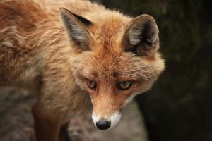 Red Fox (Vulpes Vulpes). Wild Life Animal. by wrangel