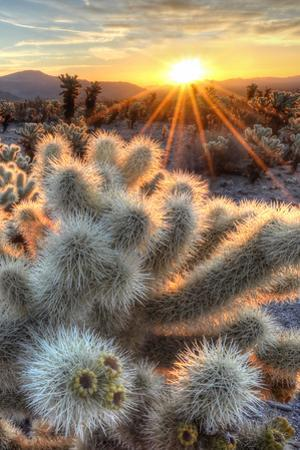 Chollas Cactus Sunrise by www.sierralara.com