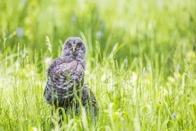 https://imgc.allpostersimages.com/img/posters/wyoming-a-great-gray-owl-fledgling-on-a-stump-just-after-leaving-the-nest_u-L-Q13C92U0.jpg?p=0
