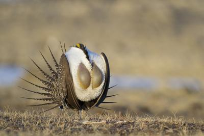 https://imgc.allpostersimages.com/img/posters/wyoming-greater-sage-grouse-strutting-on-lek-with-air-sacs-blown-up_u-L-PU3KMU0.jpg?p=0