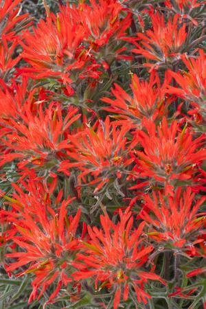 https://imgc.allpostersimages.com/img/posters/wyoming-lincoln-county-desert-paintbrush-close-up-of-flowers_u-L-PU3KNO0.jpg?p=0