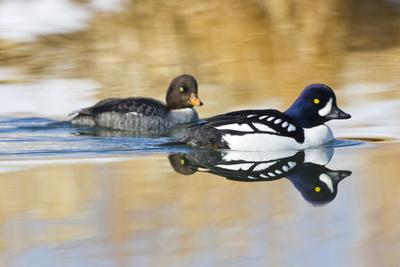 https://imgc.allpostersimages.com/img/posters/wyoming-sublette-county-barrows-goldeneye-pair-swimming-in-a-pond_u-L-PU3MZT0.jpg?p=0