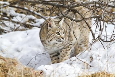 https://imgc.allpostersimages.com/img/posters/wyoming-sublette-county-bobcat-in-winter_u-L-PU3N120.jpg?p=0