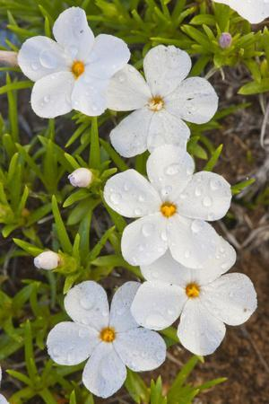 https://imgc.allpostersimages.com/img/posters/wyoming-sublette-county-close-up-of-phlox-flowers-with-raindrops_u-L-PU3NQI0.jpg?p=0