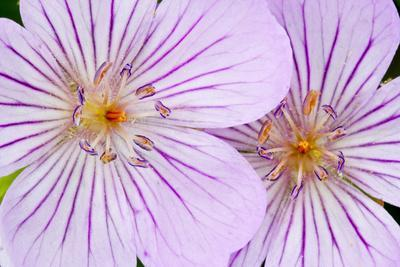 https://imgc.allpostersimages.com/img/posters/wyoming-sublette-county-close-up-of-two-sticky-geranium-flowers_u-L-PU3NQX0.jpg?p=0