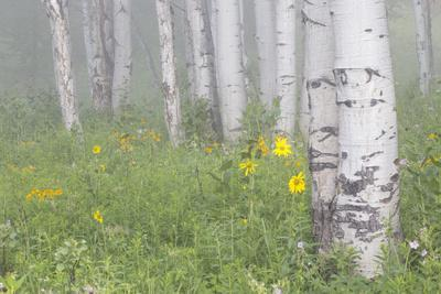 https://imgc.allpostersimages.com/img/posters/wyoming-sublette-county-foggy-aspen-grove-and-wildflowers_u-L-PU3NT00.jpg?p=0
