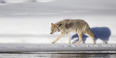 https://imgc.allpostersimages.com/img/posters/wyoming-yellowstone-national-park-coyote-walking-along-madison-river_u-L-PU4HKF0.jpg?p=0