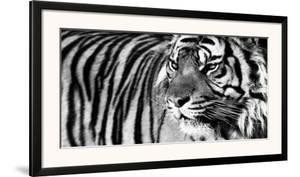 Tiger Eyes by Xavier Ortega