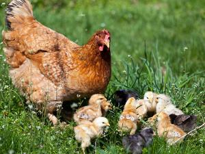 Chicken with Babies by Xilius