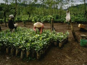 Female Workers Prepare Coffee Plant Seedlings for Planting in Fields by xPacifica