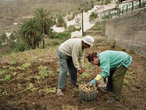 Old Couple Gathering Potatos in a Small Garden on the Island of La Gomera by xPacifica