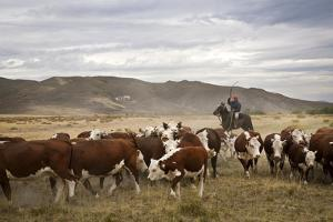 Gauchos with Cattle at the Huechahue Estancia, Patagonia, Argentina, South America by Yadid Levy