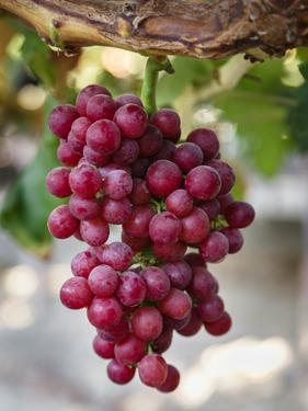 Grapes in San Joaquin Valley, California, United States of America, North America by Yadid Levy